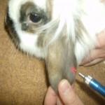 Laserakkupunktur am Ohr eines Kaninchens