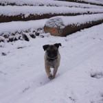 Noch ein Mops im Schnee