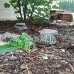 Landschildkröten im Außengehege