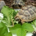 Schildkröte frisst Disteln, Löwenzahn, Klee, Spitzwegerich und Erdbeerblätter