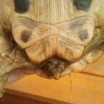 weibliche Schildkröte